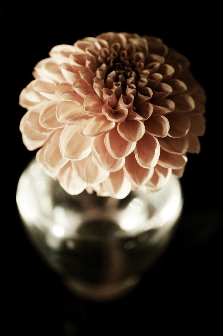 orange-small-ball-dahlia_onthresholds