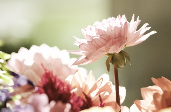 pale-pink-dahlia-and-stem_onthresholds