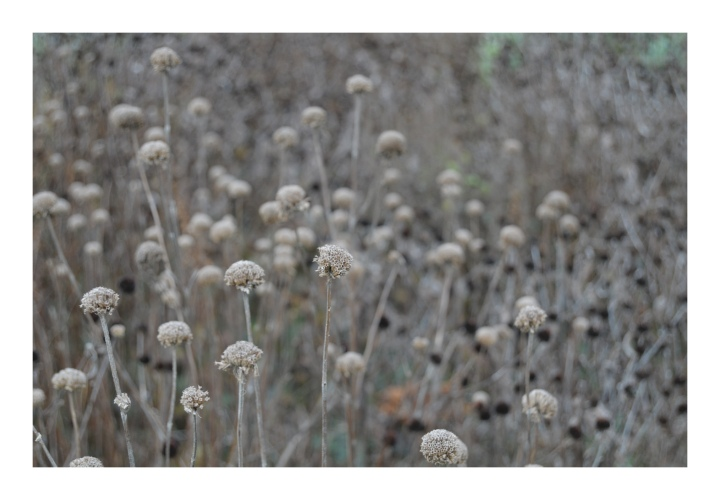 dried-flowers-in-a-field_st-michaels_onthresholds