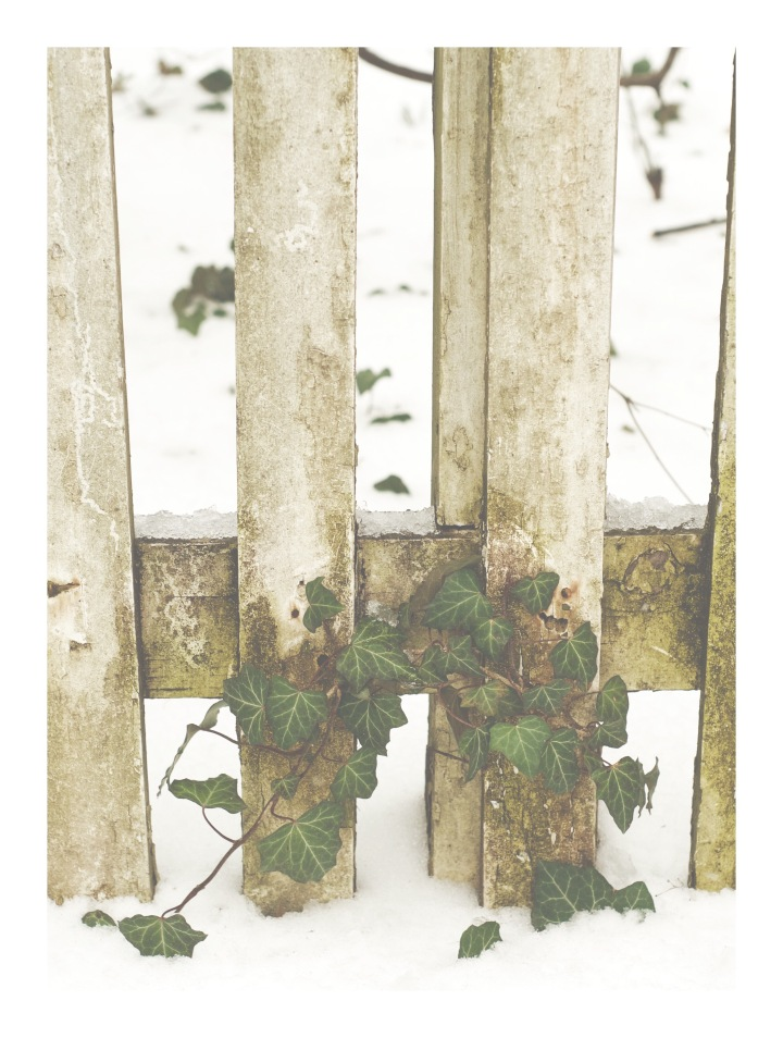 fence and ivy in snow_onthresholds