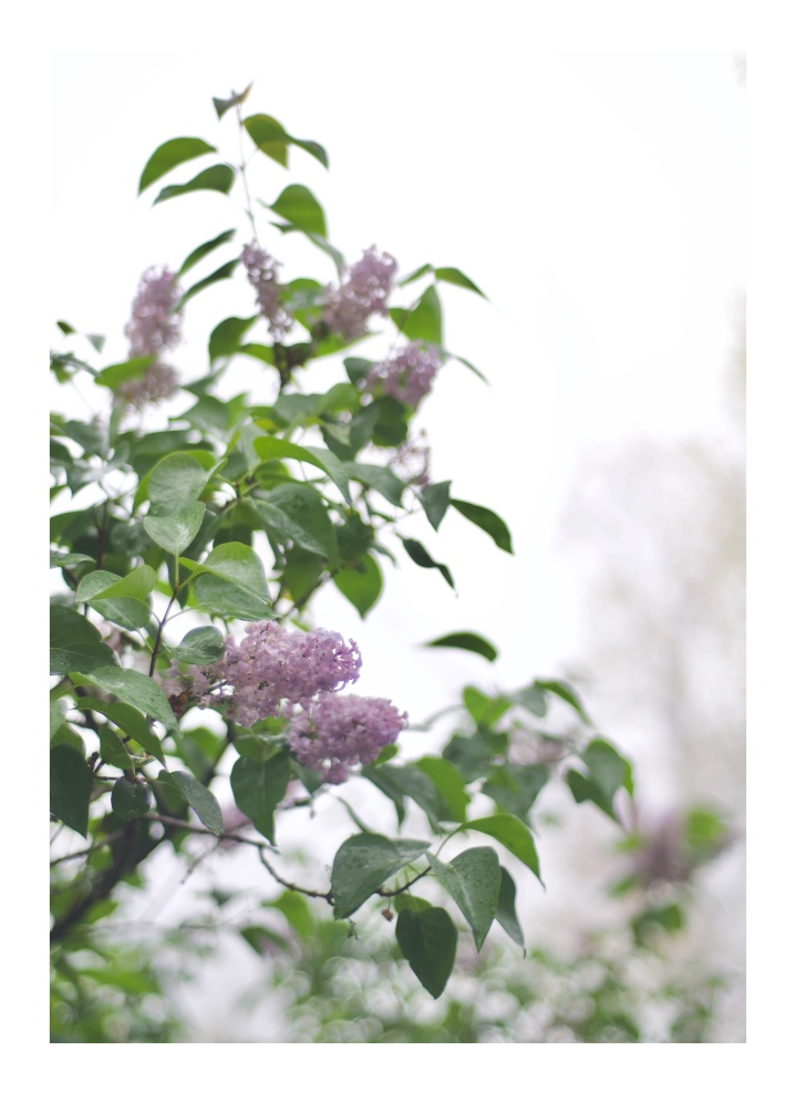 onthresholds_lilacs
