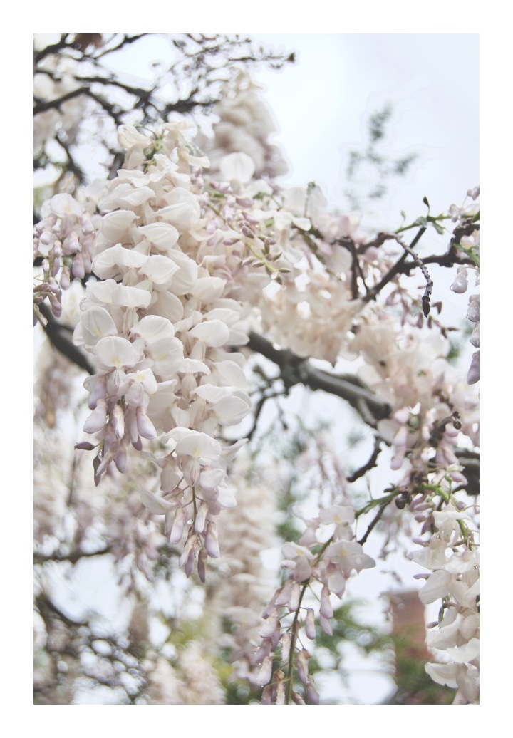 onthresholds_white wisteria