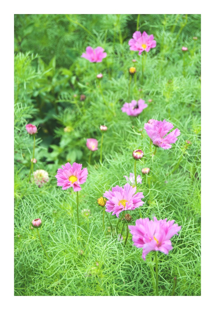 onthresholds_cosmos in cutting garden