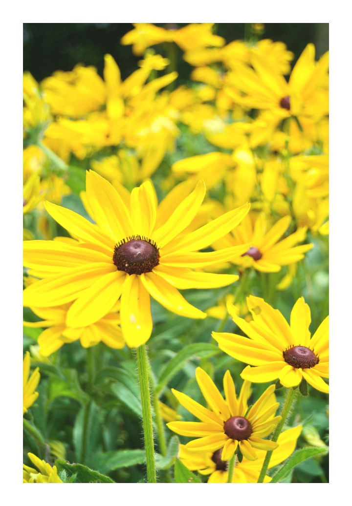onthresholds_Ladew black-eyed susans in cutting garden