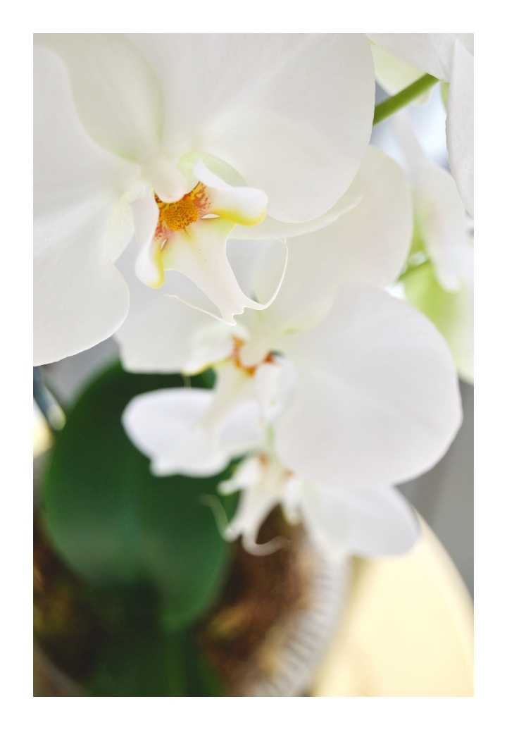 onthresholds_white orchid close up