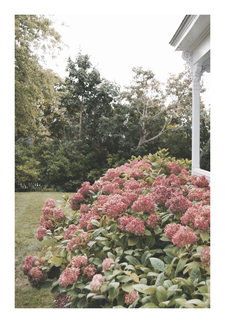 Onthresholds_edgartown_more hydrangeaIMG_0051